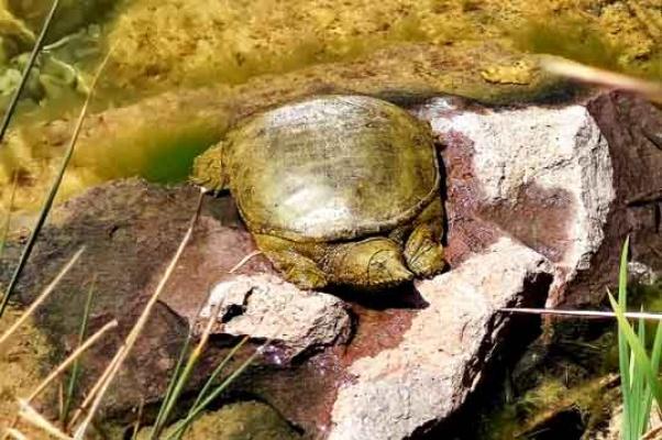Nesli tükenen kaplumbağa Beylikdüzü'nde