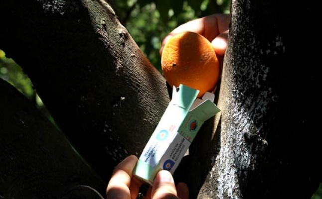 Portakallarımız böceklere emanet!