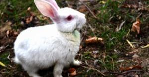 Minik tavşanı sağlığına kavuşturdular