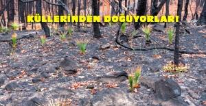 Avustralya'da yangın yerlerinde bitkiler yeniden yeşermeye başladı
