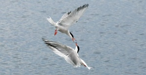Sumru kuşları yeniden Büyükçekmece'de