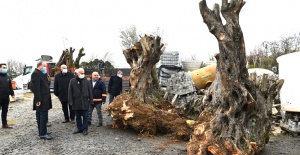 Avcılar asırlık ağaçları kurtarıyor