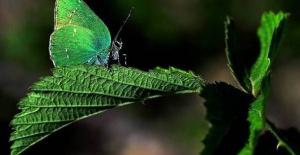 150 tür kelebeği fotoğrafladı