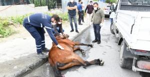 Yaralı ata ilk müdahale belediyeden