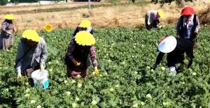 Büyükçekmeceli kadınlar bamya hasadında buluştu